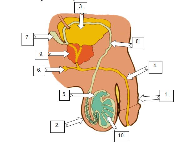 Male Female Sexual Anatomy